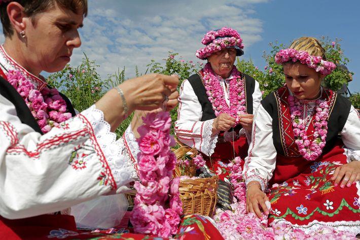 Frauen fertigen Kränze aus Rosen in den Feldern von Buzovgrad an.
