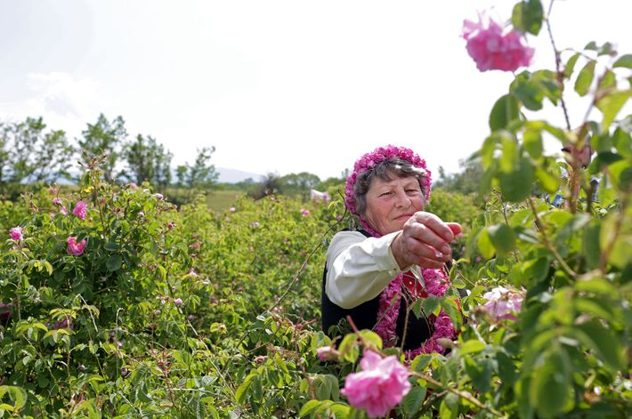 Penka Pencheva kümmert sich während eines Rosenerntefests um ihre Pflanzen.