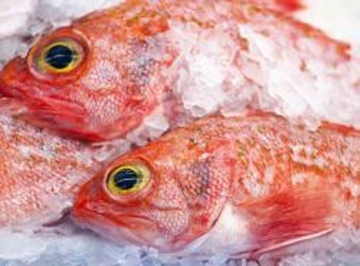 Rotbarsche gehören zu den bedrohten Fischarten. Sie wachsen langsam und werden erst mit zehn bis 13 ...