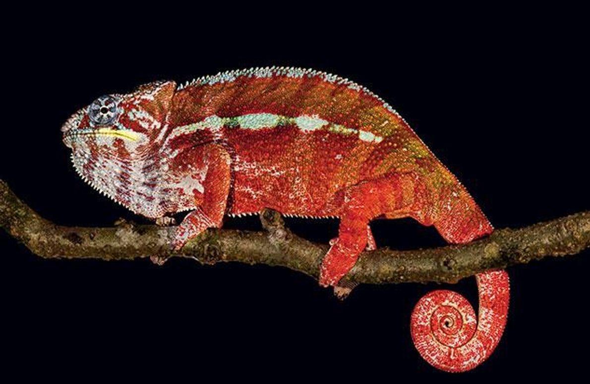 Diese Chamäleonart hat eine besonders bunte Palette im Repertoire. Die Farben vermitteln unterschiedliche Botschaften an die …