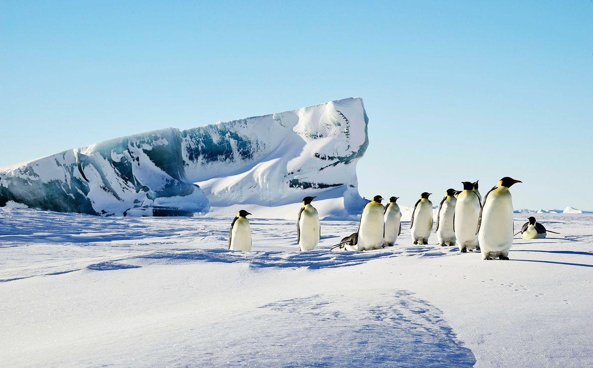 Hinter einer Gruppe von Kaiserpinguinen ragt ein grüner Eisberg aus dem Schnee.