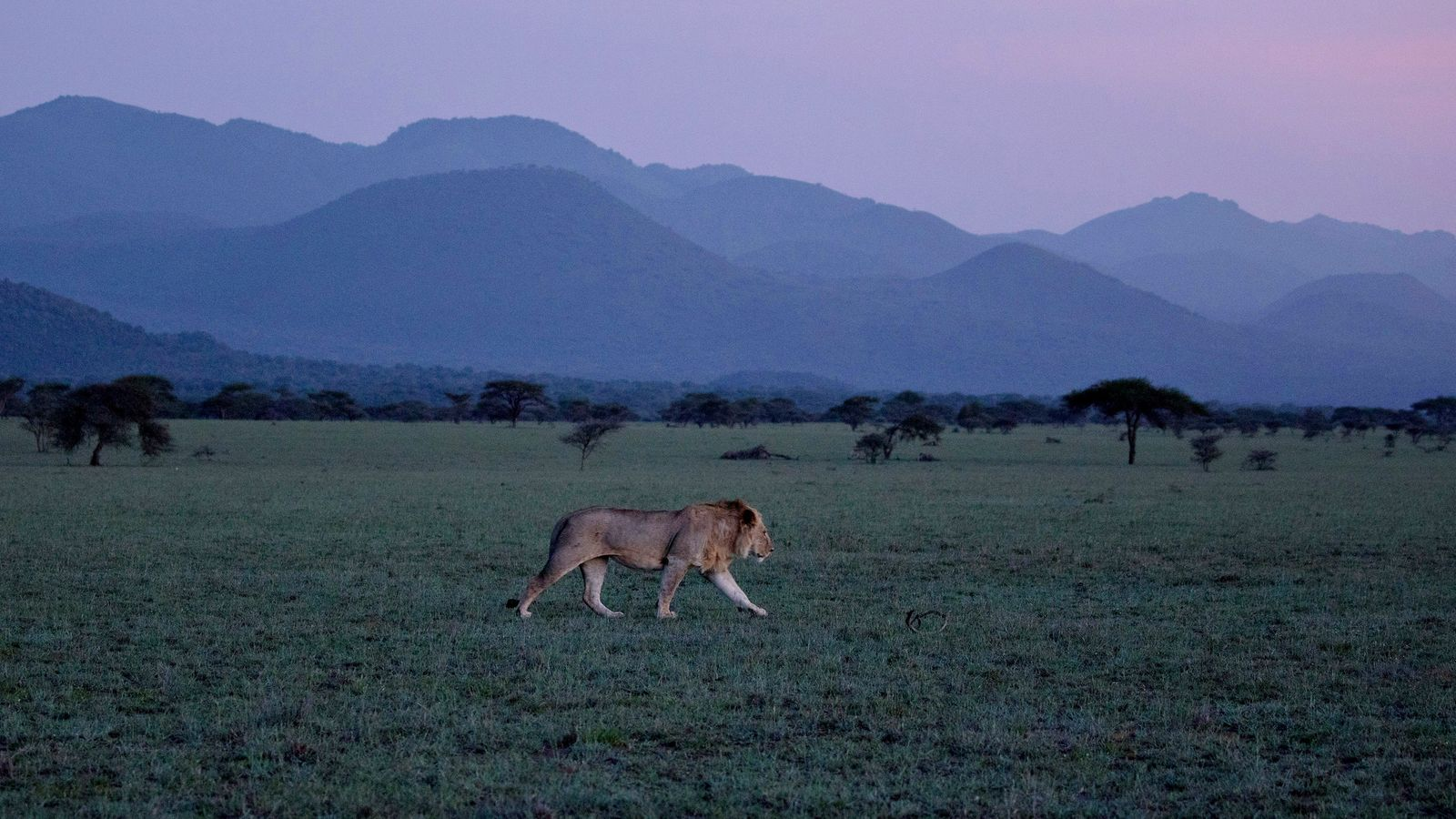 Am Fuße der Chyulu Hills in Kenia streift ein Löwe durch die Savanne.