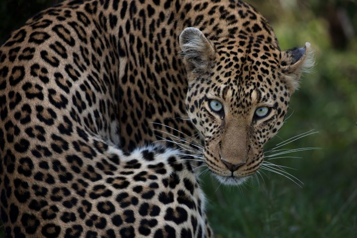 Ein Leopard im Naturschutzgebiet Masai Mara in Kenia, der sich gerade noch geputzt hat, blickt auf ...