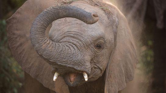 Ein junger Elefant im Samburu-Nationalreservat in Kenia bläst sich Sand über den Kopf und Rücken.