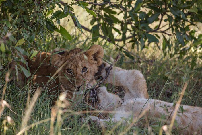 In der Masai Mara in Kenia spielen zwei junge Löwen während der Hitze des Tages im ...