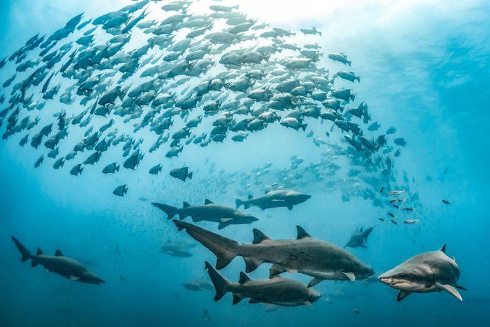Sandtigerhaie und Atlantische Spatenfischer schwimmen im klaren Wasser vor der Küste North Carolinas.