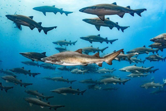 Eine große Gruppe Sandtigerhaie vor der Küste North Carolinas.