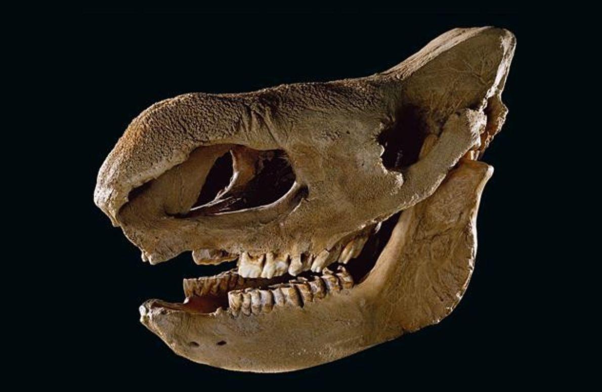 Schädel eines Steppennashorns