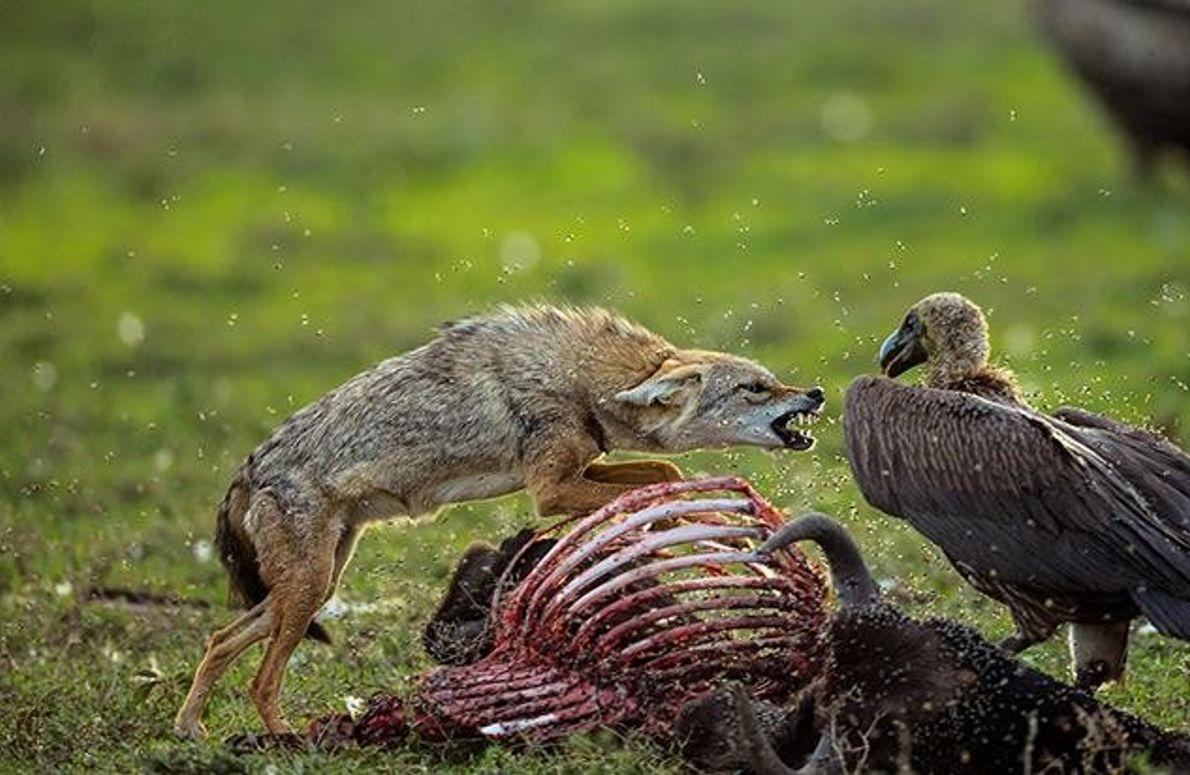 Schakal gegen Geier