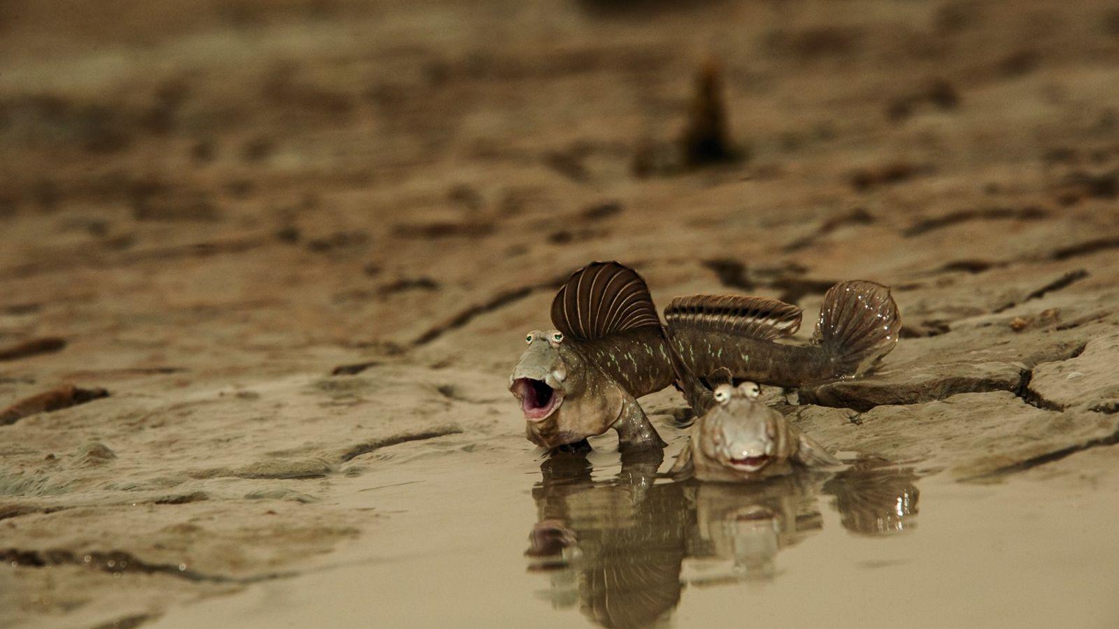 Schlammspringer sind scheu und tauchen bei Gefahr einfach in den Schlick. Für diese Aufnahme an Kuwaits Küste ...
