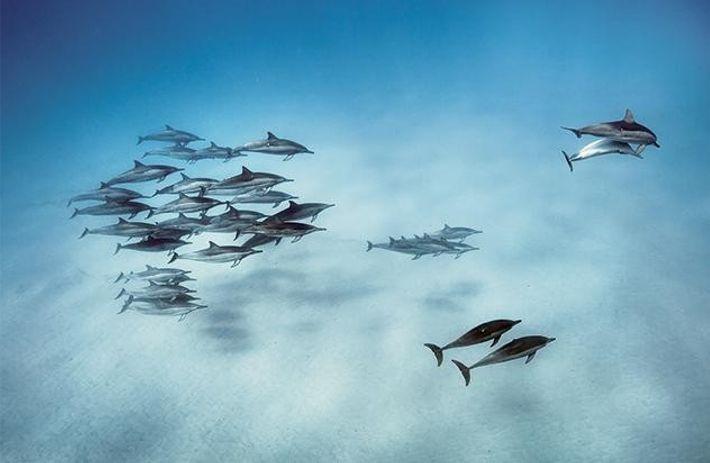 Schmalschnabeldelfine vor Hawaii