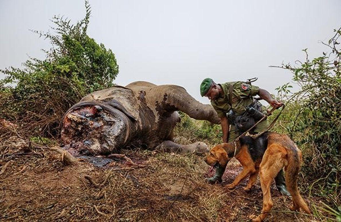 Ein Spürhund nimmt die Fährte von Wilderern auf, die einen Elefanten erlegt und den vorderen Teil …