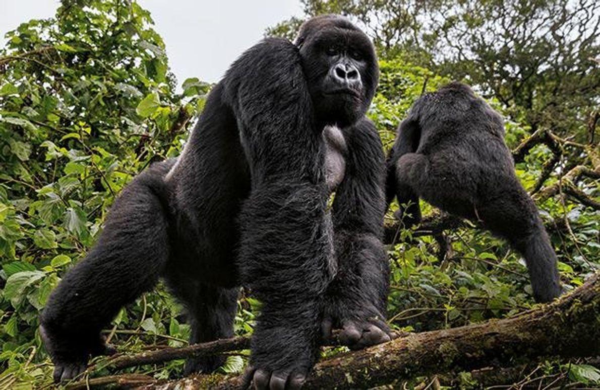 Der Boss einer 22-köpfigen Berggorillafamilie zeigt sich am Waldrand und beobachtet seine Beobachter. Im Park leben …