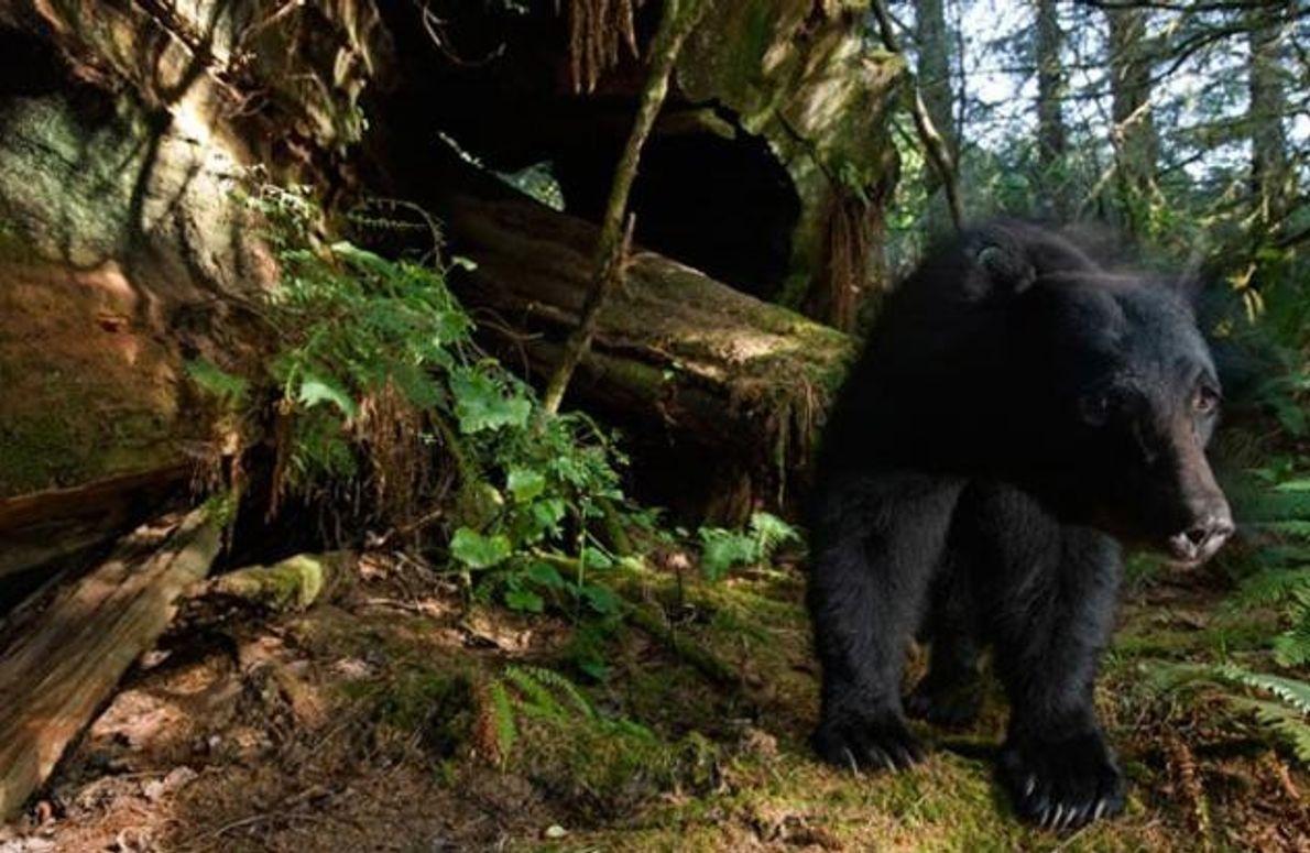 Schwarzbär im Wald