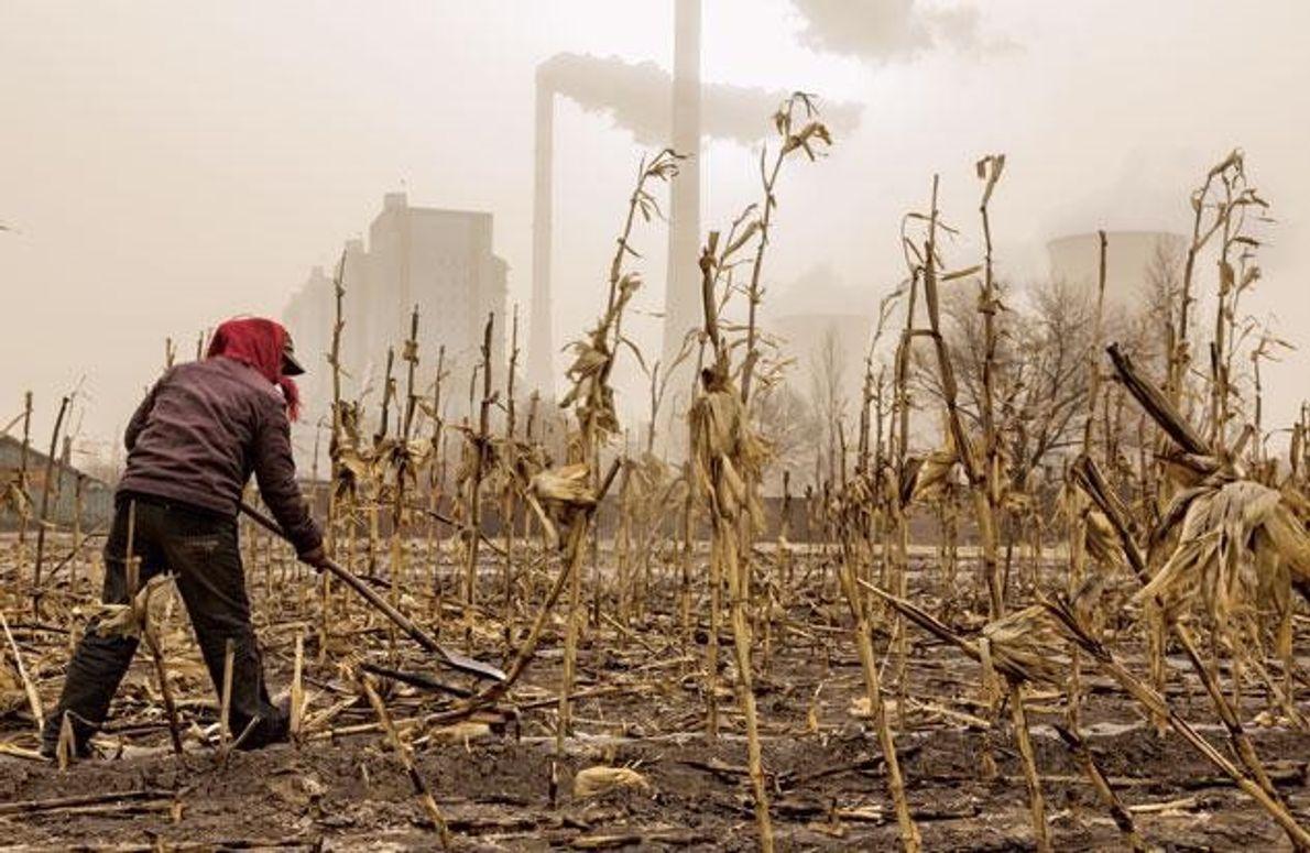 Zwischen welken Maisstängeln vom letzten Jahr bereitet ein Bauer den Boden für die neue Aussaat vor. …