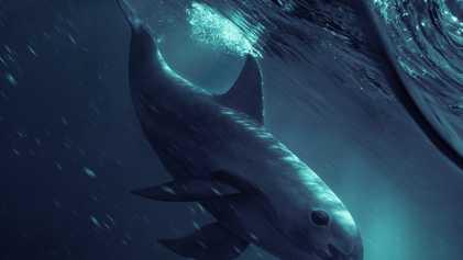 Vaquitas in Not: Gibt es Hoffnung für den seltensten Wal der Welt?
