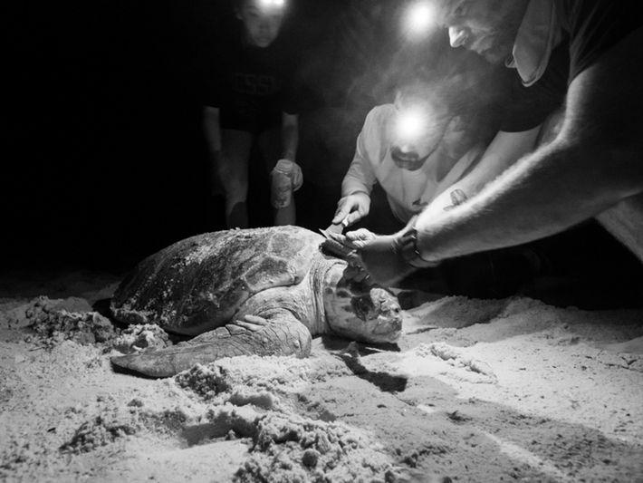 Forscher und Unechte Karettschildkröte