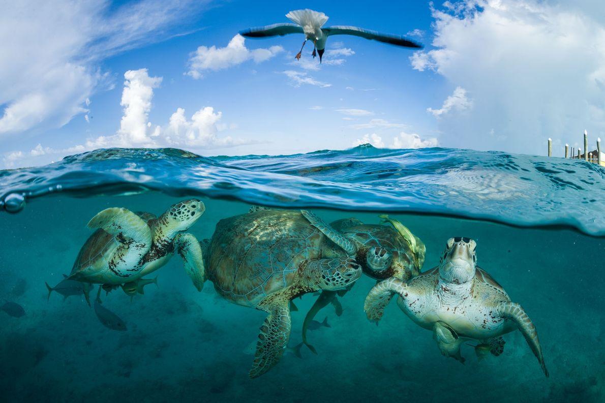 Grüne Meeresschildkröten