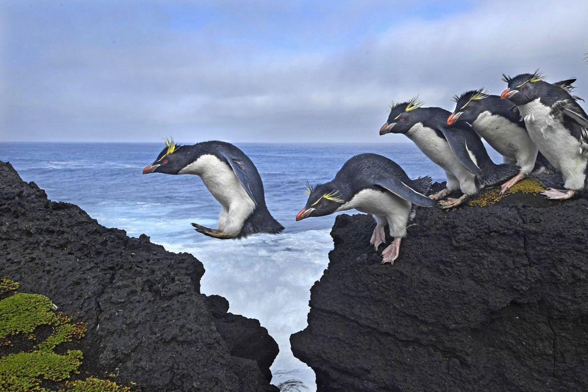 Felsenpinguine müssen die felsigen Klippen und brechenden Wellen navigieren, wenn sie zur und von der Marion-Insel ...
