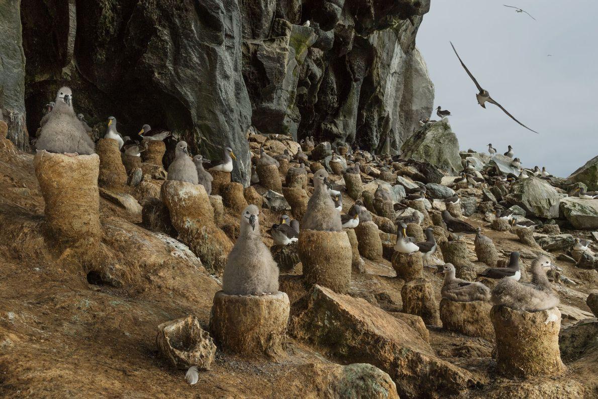 Nistplatz für Albatrosse