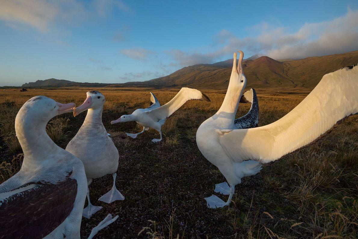 Das Tanzverhalten, das für gewöhnlich von noch nicht ganz ausgewachsenen Tieren aufgeführt wird, hilft den Individuen ...