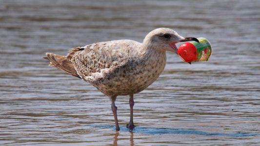 Fast jeder Meeresvogel der Welt frisst Plastik