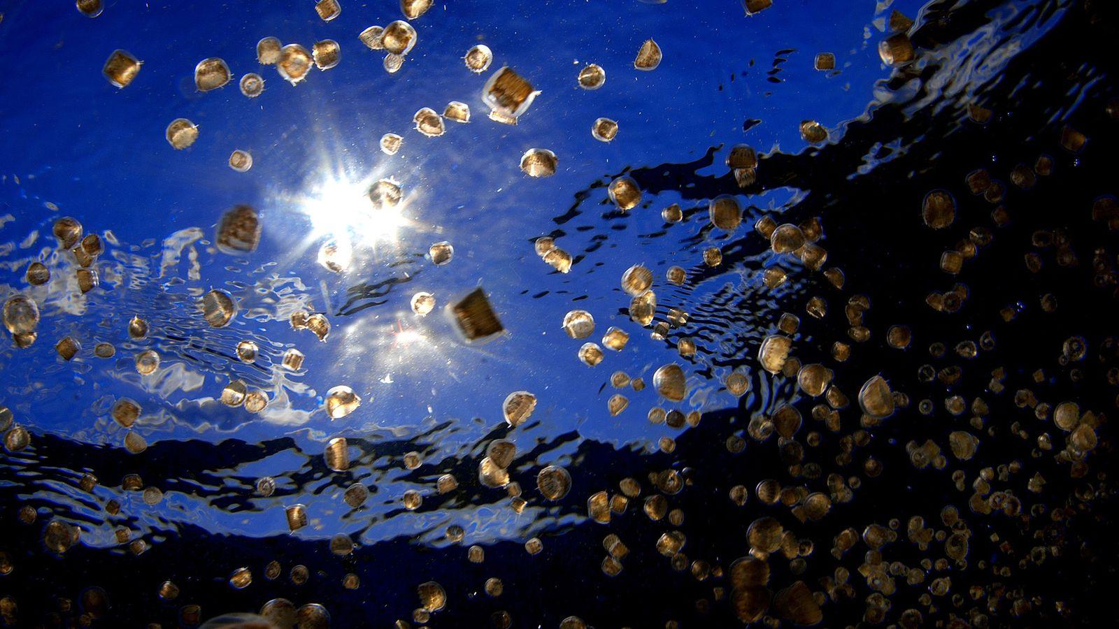 Ein Schwarm Quallen der Art Linuche unguiculata bei der Isla Mujeres in Mexiko. Die Larven der ...