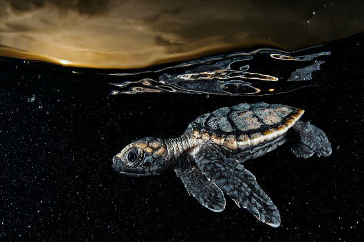 Diese gerade geschlüpfte Echte Karettschildkröte ist knapp acht Zentimeter lang und entfernt sich im Schutz der ...