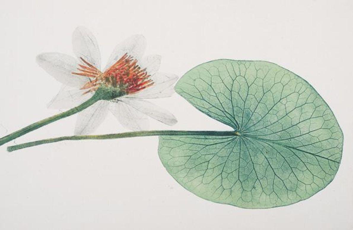 Während Landpflanzen über Öffnungen auf der Unterseite ihrer Blätter atmen, sind diese bei Seerosen oben: der …