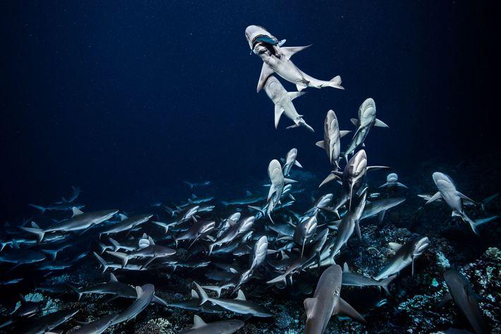 Das Team des Fotografen Laurent Ballesta tauchte ohne Käfige und Waffen und zählte 700 Haie im ...