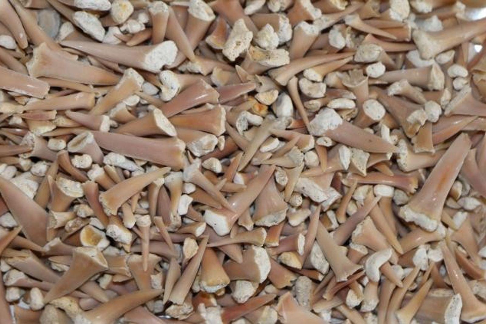 Wissenschaftler untersuchten alte Haizähne. Da Haiskelette aus Knorpeln bestehen und kaum versteinern, stellen die stabileren Zähne ...