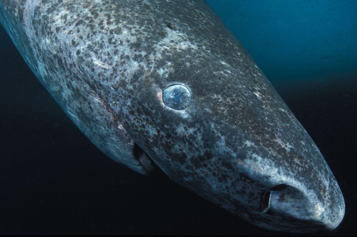 Haie leben länger als gedacht – das kann schlimme Folgen haben