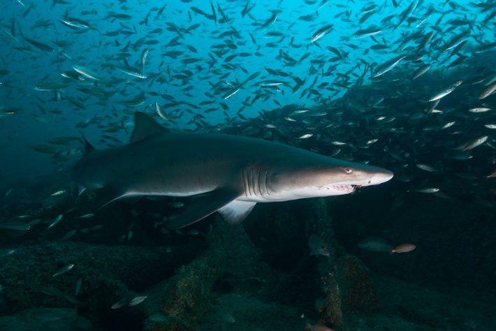 Sandtigerhaie