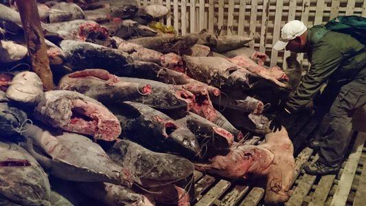 Galerie: Tausende Haie auf illegalem Fangboot vor Galapagos-Nationalpark gefunden
