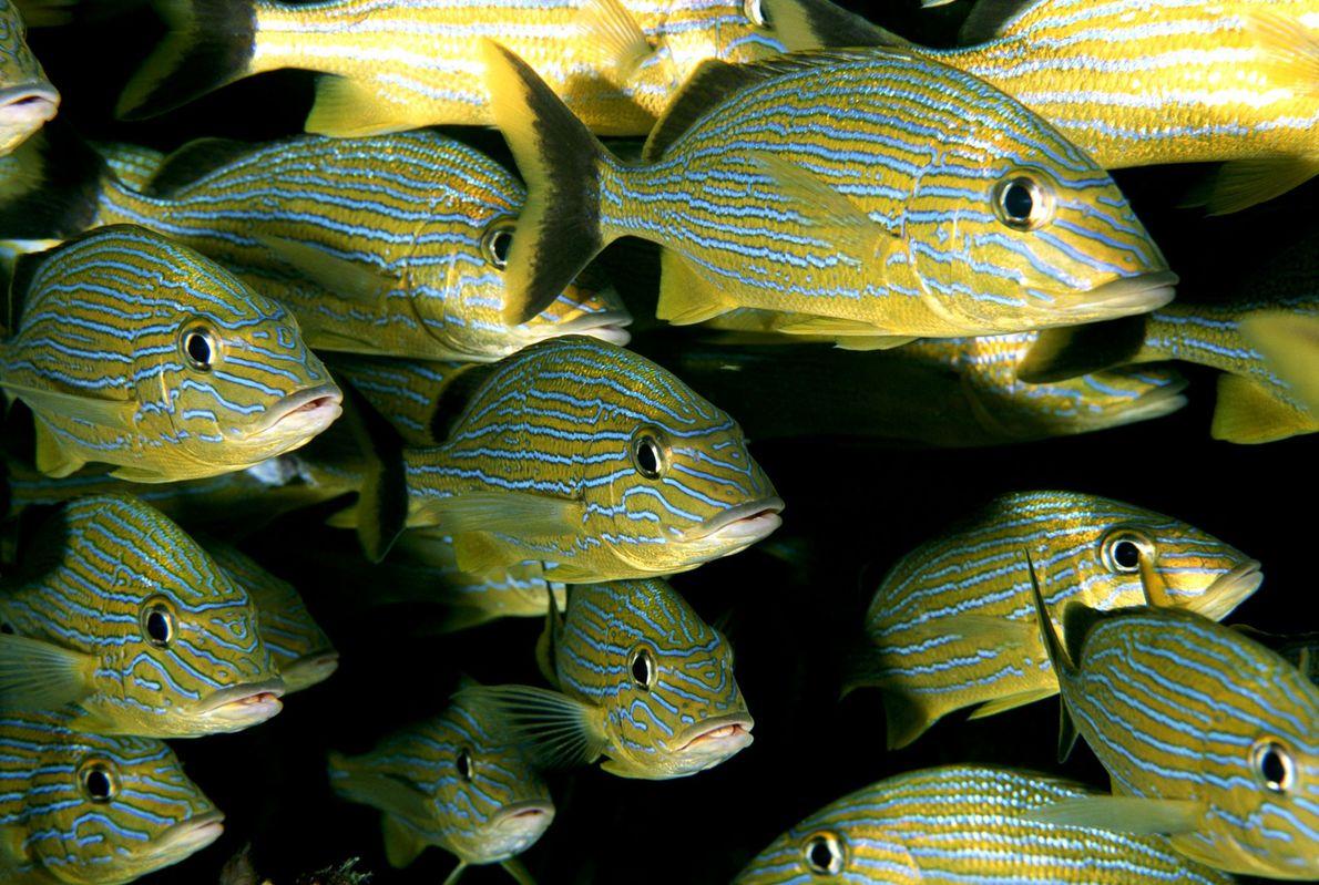 Der Klimawandel könnte Fische schrumpfen lassen