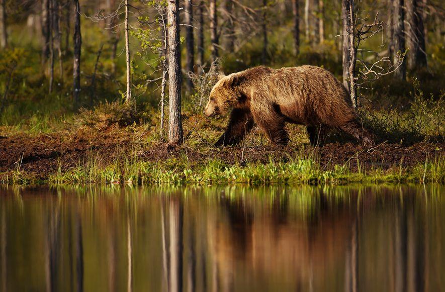 Braunbären wie dieses Tier in einem Wald in Finnland können auf der Suche nach Nahrung oder ...