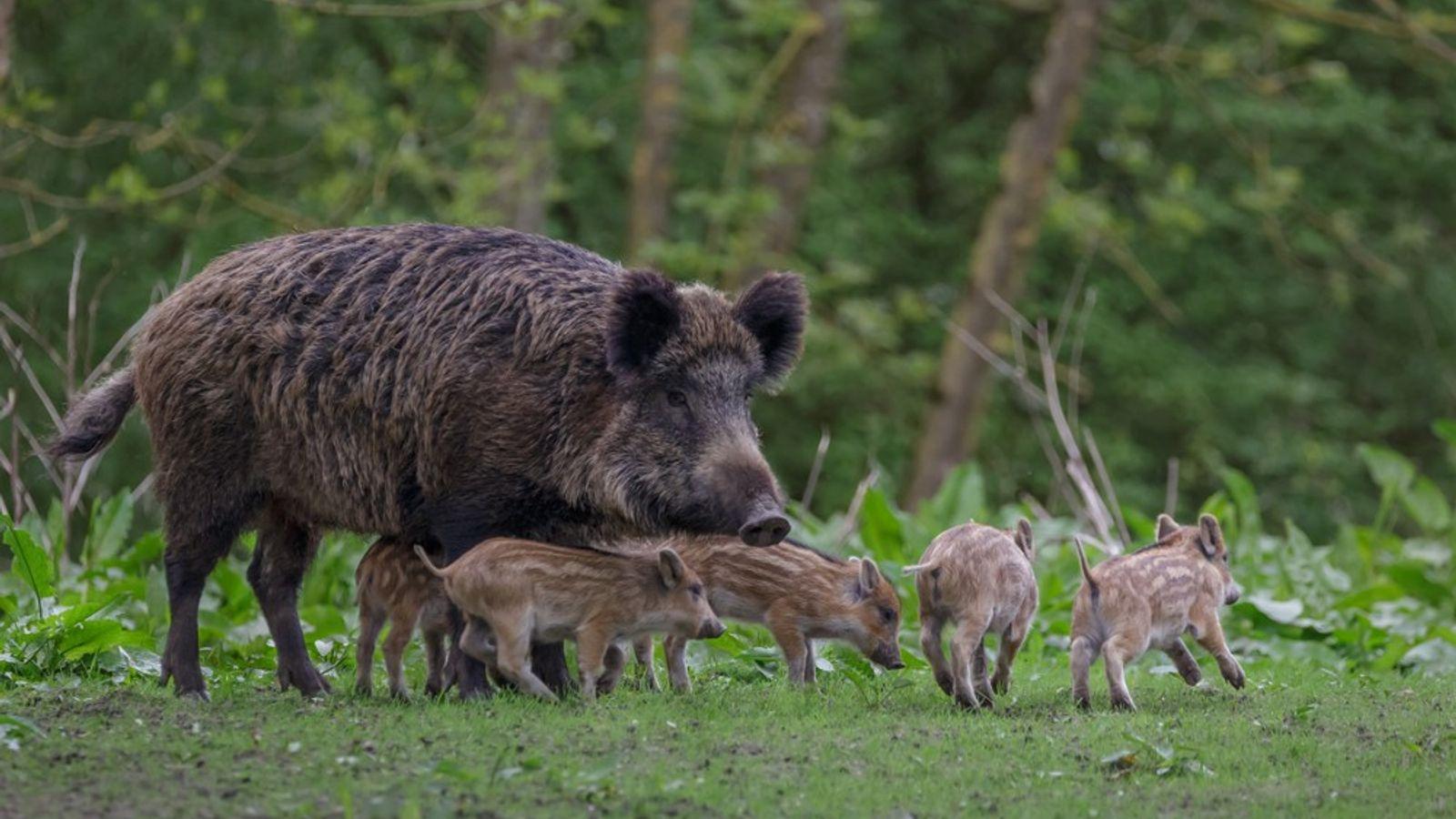 Wildschwein & Frischlinge
