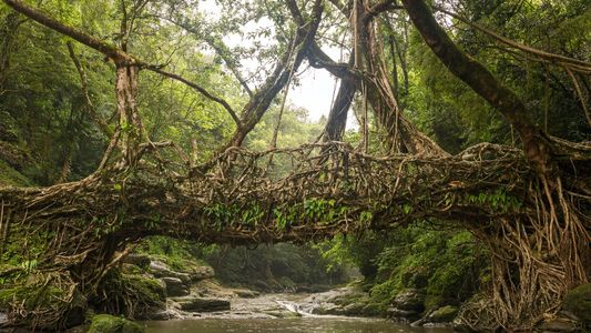 Von lebenden Brücken und Balkonen aus Bäumen