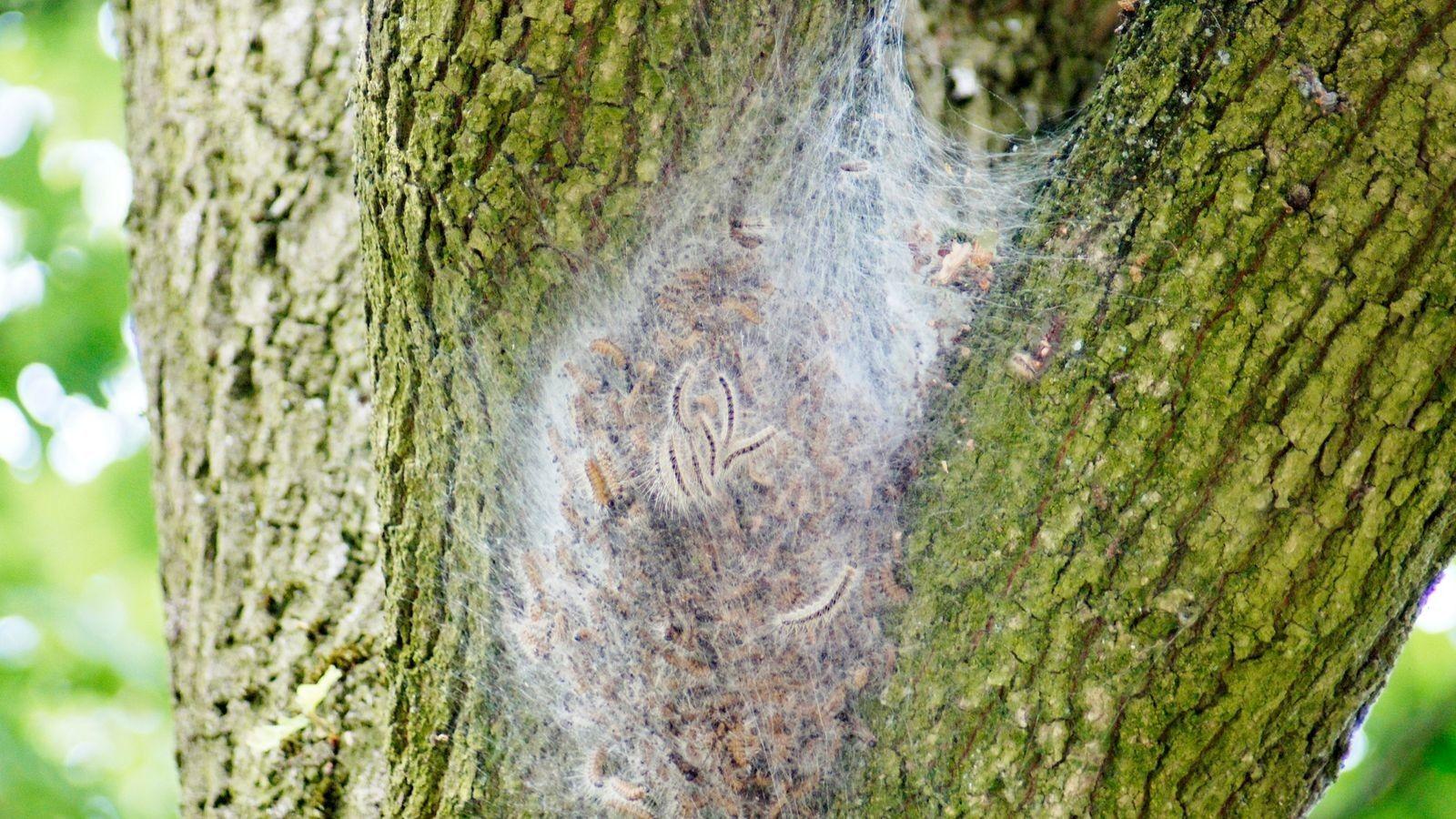 Eichenprozessionsspinner: Giftraupen im Anmarsch