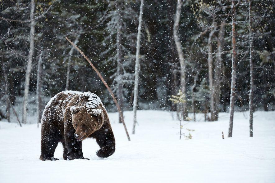 Im Winter durchstreift ein Europäischer Braunbär (Ursus arctos arctos) die verschneite finnische Landschaft auf Nahrungssuche. Finden ...