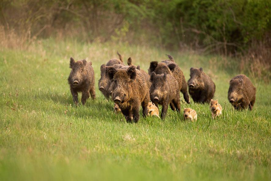 """Afrikanische Schweinepest: """"Das Risiko ist deutlich gestiegen"""""""
