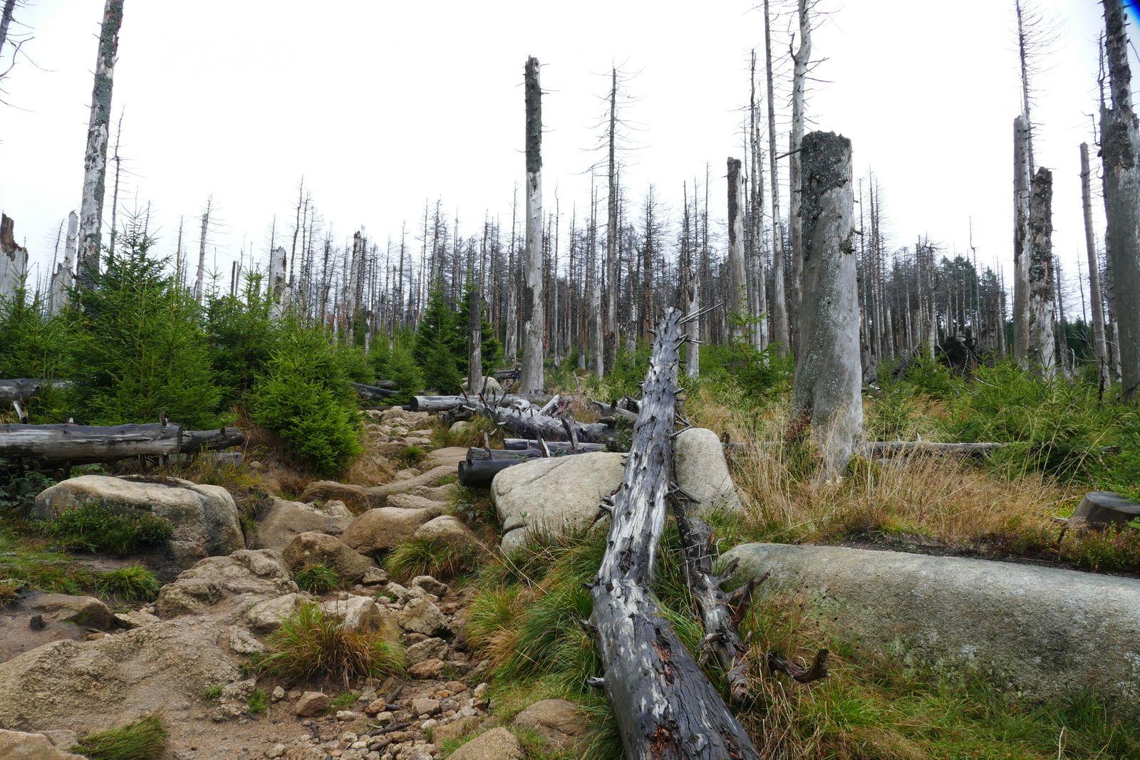 Hier hat der Borkenkäfer ganze Arbeit geleistet: Abgestorbene Fichten im Harz.
