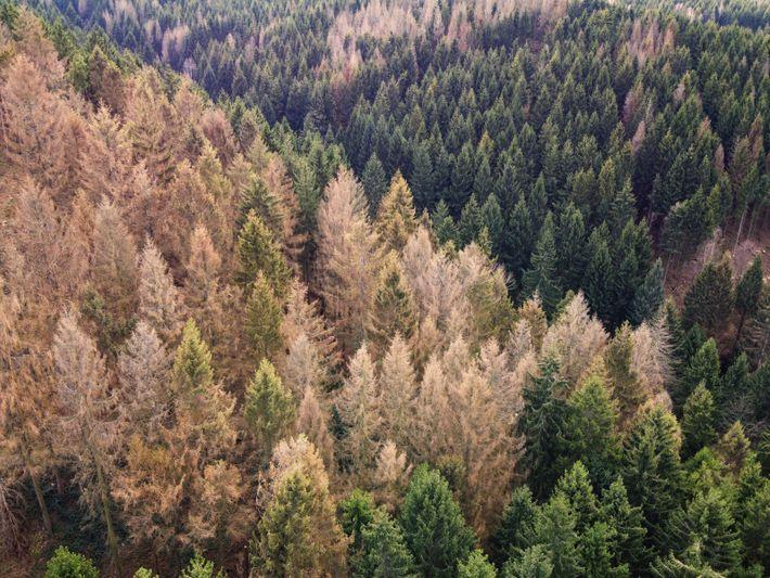 Fichtensterben im Harz: Wetterextreme und Borkenkäfer haben Deutschlands häufigster Baumart in weiten Teilen des Landes dramatisch ...