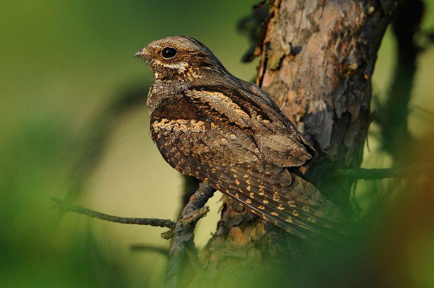 Tagsüber tarnt sich der nachtaktive Vogel regungslos auf einem Ast oder auf dem Waldboden. Dem Ziegenmelker ...