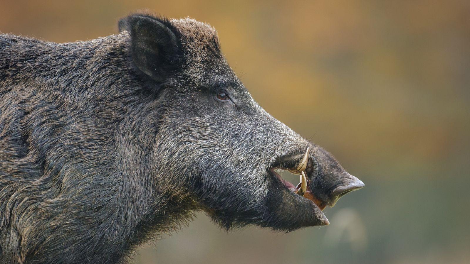 Die Schonzeit für Wildschweine wird aufgehoben.