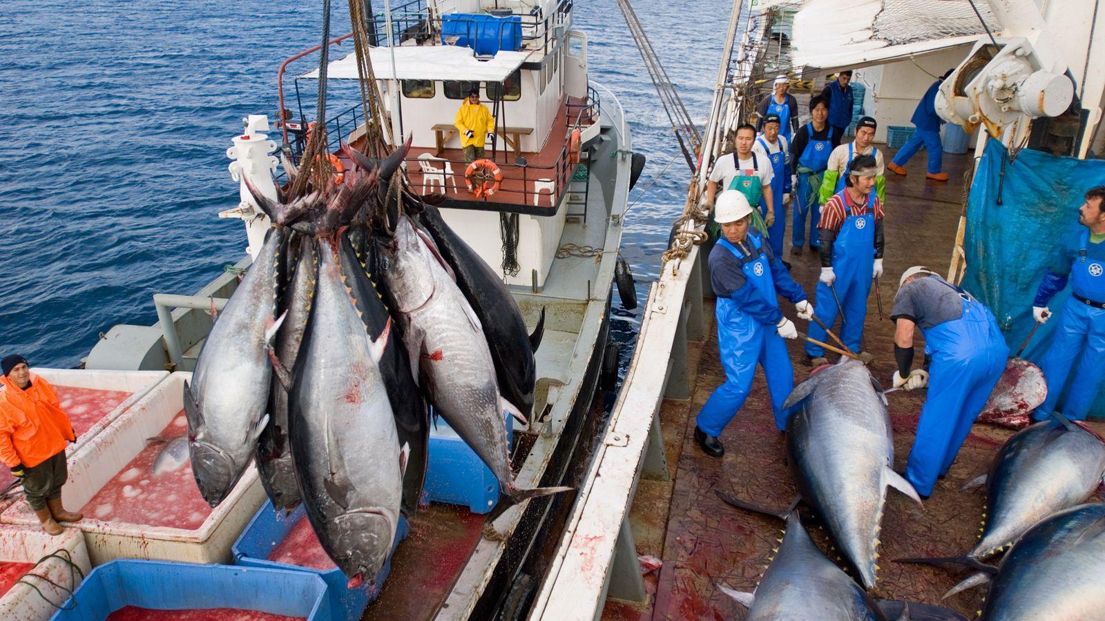 Blauflossenthunfisch-Fang im Mittelmeer: Der bullige Raubfisch steht sinnbildlich für die Ausbeutung der Meere. Überfischung hat ihn ...