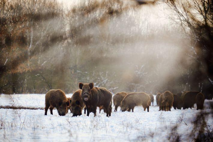 Die Afrikanische Schweinepest befällt ausschließlich Haus- und Wildschweine.