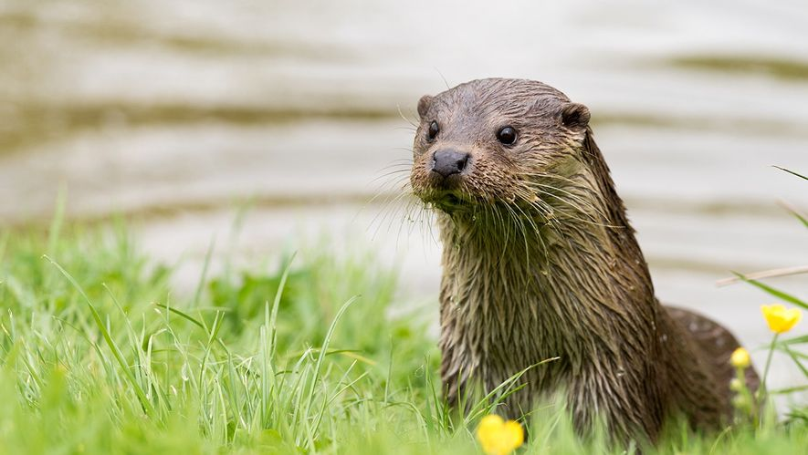 In vielen Teilen Deutschlands gilt der Fischotter nach wie vor als ausgestorben. Am Grünen Band findet ...