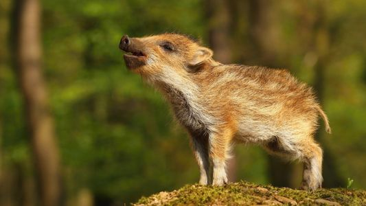 Galerie: Wildschweine