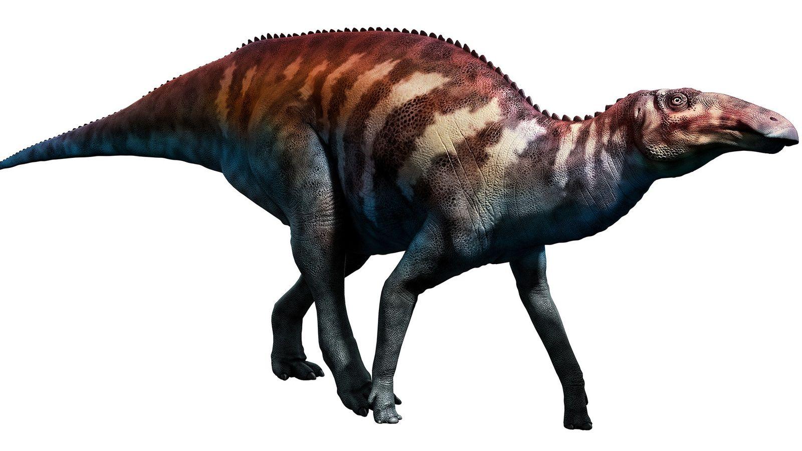 Edmontosaurus annectens (etwa: die verbundene Echse aus Edmonton)